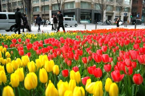 tulipstaro-fujimoto